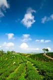 Garten des grünen Tees auf nachlässigem Hügel Lizenzfreies Stockbild