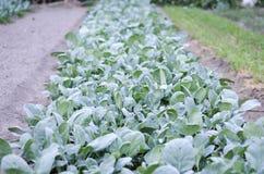 Garten des Minikohls Lizenzfreies Stockbild