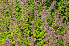 Garten-Flecken von Lupinen Stockbild