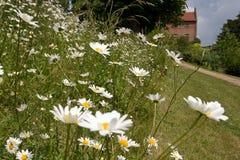 Garten-Gänseblümchen Lizenzfreie Stockbilder