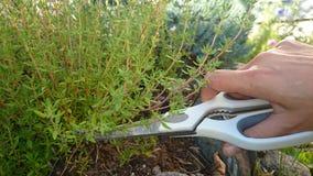 Garten gepflanzte Thymiane Stockfotografie