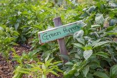 Garten-grüne Paprikas Stockbilder