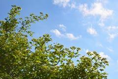Garten im Frühjahr Blühender Strauch von Viburnum auf dem Hintergrund des blauen Himmels mit weißen Wolken lizenzfreies stockbild