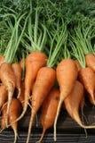 Garten-Karotten Lizenzfreie Stockfotos