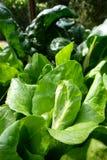 Garten: Kopfsalatanlagen und -mangoldgemüse Lizenzfreie Stockbilder