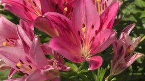 Garten-Lilienveilchen stock video