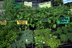 Garten-Markt - frische Kräuter Stockfoto