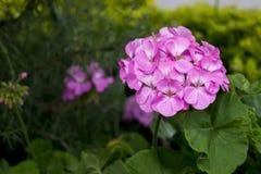 Garten mit einem schönen rosa Blumenblumenstrauß Lizenzfreie Stockfotografie