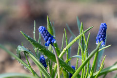 Garten Nahaufnahme Muscari im Frühjahr Stockbild