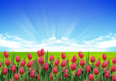 Garten oder Tulpen Stockbild