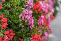 Garten-Pelargonie in einem Pflanzer lizenzfreie stockfotografie