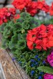Garten-Pelargonie in einem Pflanzer stockfoto