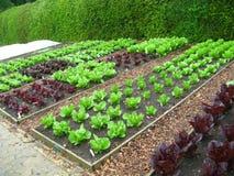 Garten-Pläne des Kopfsalates Lizenzfreie Stockfotografie
