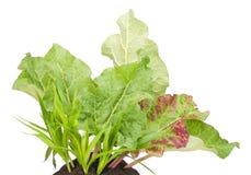Garten-Rhabarbergemüseanlage Lizenzfreies Stockbild