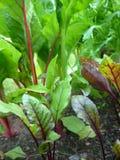 Garten: rote Rübe pflanzt v Stockfotos