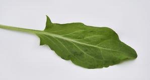 Garten Sorrel Leaf Stockbild