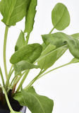 Garten Sorrel Leaves lizenzfreies stockbild