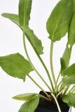 Garten Sorrel Leaves Stockfotos