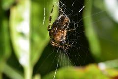 Garten-Spinne im Web Lizenzfreies Stockfoto