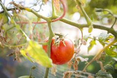 Garten-Tomate Lizenzfreies Stockfoto