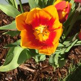 Garten Tulip Macro Stockfoto