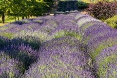 Garten voll des Lavendels in OstrÃ-³ w 40 Kilometer von Krakau Der Geruch und die Farbe des Lavendels erlaubt Besuchern, wie in P lizenzfreie stockfotografie