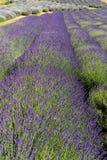 Garten voll des Lavendels in OstrÃ-³ w 40 Kilometer von Krakau Der Geruch und die Farbe des Lavendels erlaubt Besuchern, wie in P lizenzfreie stockfotos