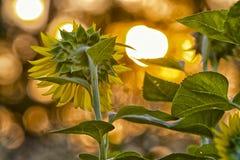 Garten von den Sonnenblumen, die den Morgen Sonnenaufgang gegenüberstellen Stockbild