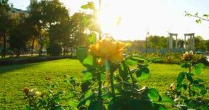 Garten von gelber feenhafter Rose im Gartenhintergrund, Blütenstrauchrosen stock video