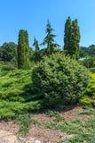 Garten von Koniferenbäumen Lizenzfreie Stockfotografie