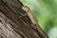 Garten-Zaun Lizard, das auf einem Baum klettert Lizenzfreies Stockfoto