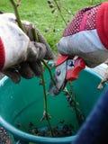 Gartenarbeit, Beschneidung Lizenzfreies Stockfoto