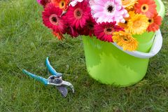 Gartenarbeit - Gänseblümchen in einer Wanne u. in der Baumschere Lizenzfreies Stockfoto