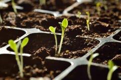 Gartenarbeit. Junge Sprösslinge, die im Verbreiter wachsen. Lizenzfreies Stockfoto