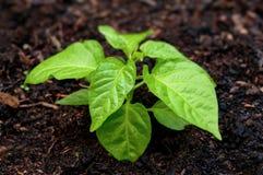 Gartenarbeit. - Pfefferanlage lizenzfreie stockfotos