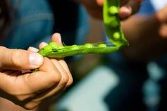 Gartenarbeit am Sommer - Frau, die Erbsen erntet Lizenzfreies Stockfoto