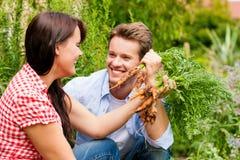Gartenarbeit am Sommer - Paar, das Karotten erntet Lizenzfreies Stockfoto
