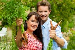 Gartenarbeit am Sommer - Paar, das Karotten erntet Lizenzfreie Stockbilder