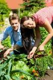 Gartenarbeit am Sommer - Paar, das Karotten erntet Stockfotos