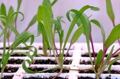 Gartenarbeit - Spinat-Sämlinge Stockfotografie