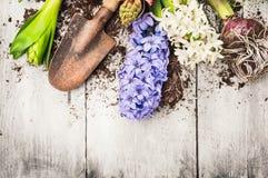 Gartenarbeithintergrund des Frühlinges mit Hyazinthenblumen, -birnen, -knollen, -schaufel und -boden Lizenzfreie Stockfotos