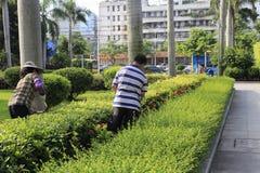 Gartenarbeitskräfte, die eine Hecke im Garten schneiden stockfoto