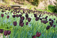 Gartenbett voll der schwarzen Tulpen (des dunklen Purpurs). stockfotos