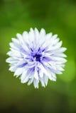 Gartenblume Lizenzfreie Stockfotos