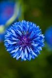 Gartenblume Stockbild