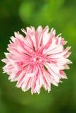 Gartenblume Stockbilder