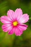 Gartenblume Lizenzfreie Stockbilder