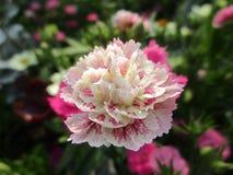 Gartenblume mit den rosa und weißen Blumenblättern Stockfoto