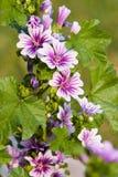 Gartenblumen Lizenzfreie Stockbilder