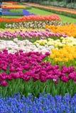 Gartenblumen im Frühling-Keukenhof innen Lizenzfreies Stockbild